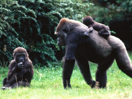 animals-families_gorilla-family